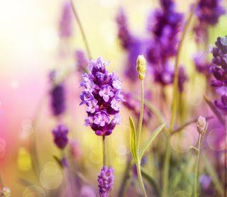 LavendelNahaufnahme